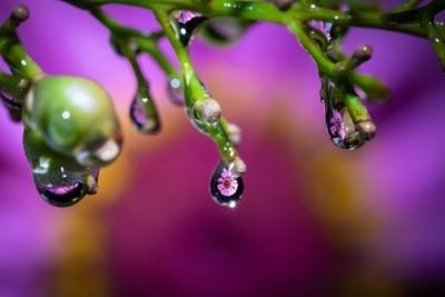 Waterdrop Zinnia