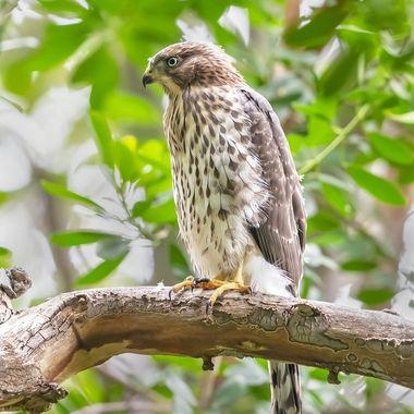 Cooper's Hawk juvenile DSC09884