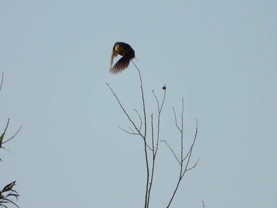 A Meadowlark in a tree near our house.