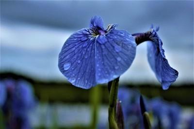 Iris a Dew