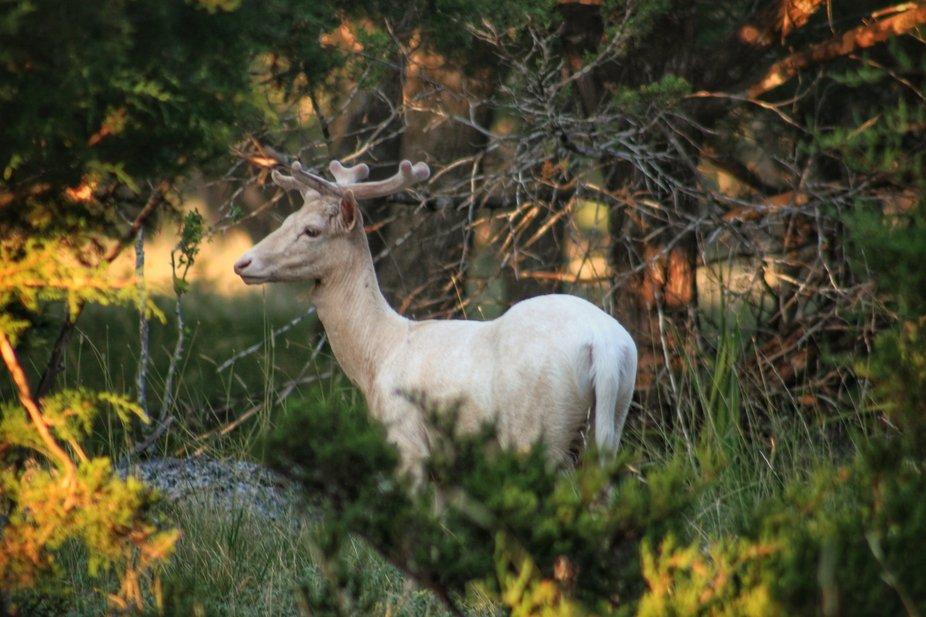 White Fallow Buck
