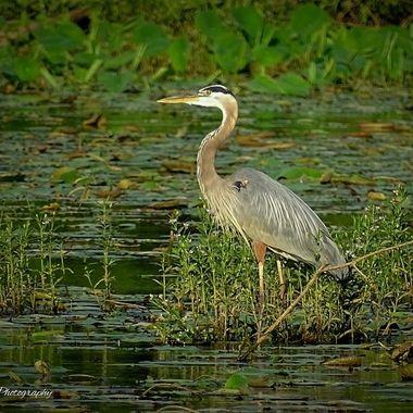 Great Blue Heron at Springfield Lake