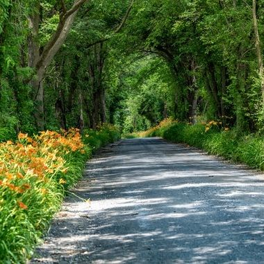 Along a stretch of road in the Maryland countryside the Day Lilies have taken over the road's edge.  _DSC8476