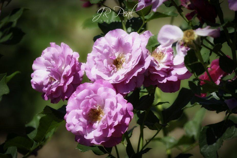 Soft Purple Pink Roses