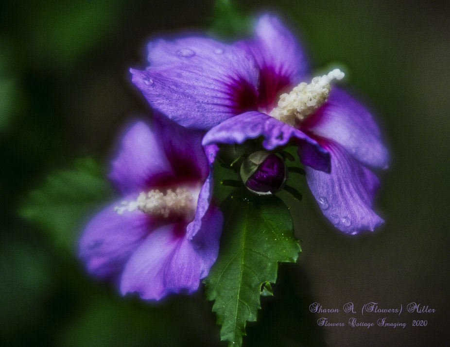 """This blue hibiscus has a label on it that says """"Althea"""" which is another name f..."""