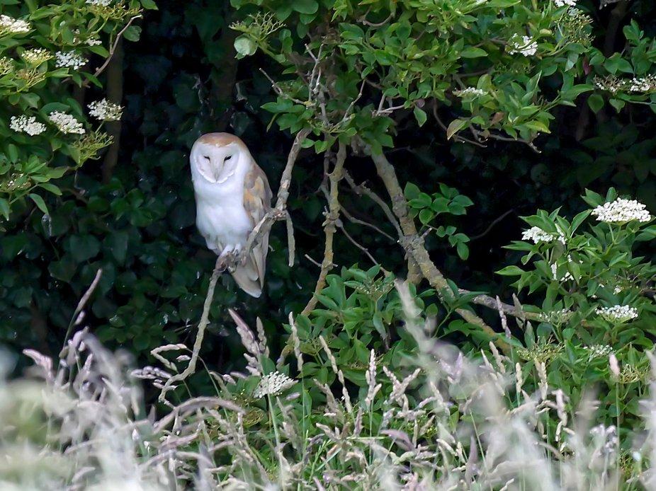 Barn owl from Sunday night.