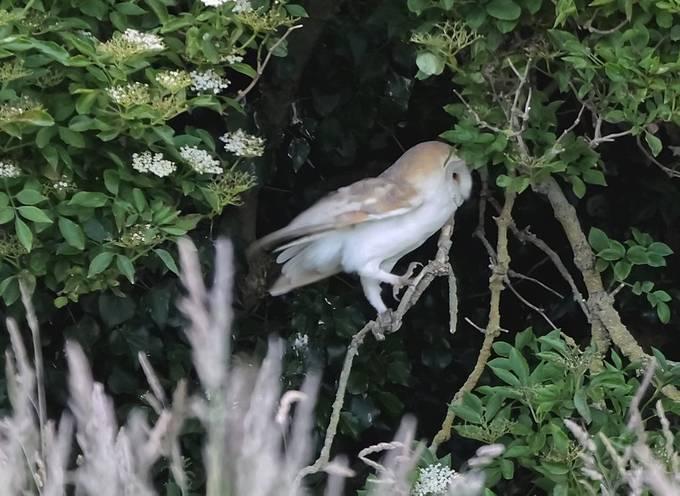 Barn Owl Crop