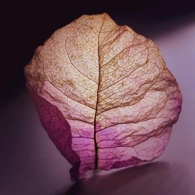 Bougainvilla leaf