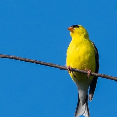 This male American Goldfinch is sunning itself in the evening after a couple of days of rain.