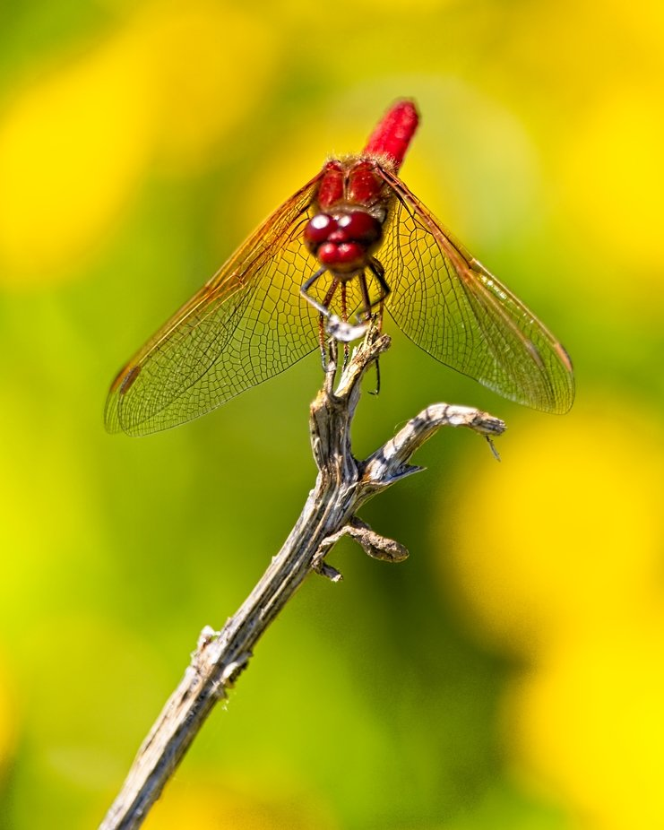 A dragonfly is perched on a twig in the middle of a patch of yellow wildflowers...