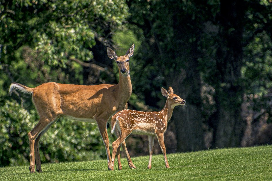 Mom and her baby in our way on the golf course.