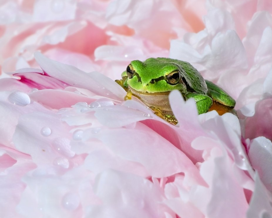 A small frog hides in a peony flower waiting for the right time to strike one of the many insects flying around the flowers.
