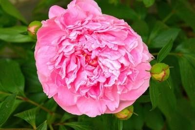 Large Pink Flower 1