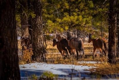 Mustangs Running in the Forest