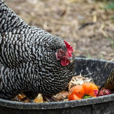 These wonderfully coloured chickens were fighting for the perfect piece of food