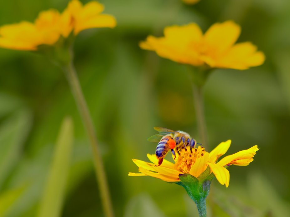 Honeybee collecting pollen from a Coreopsis flower.
