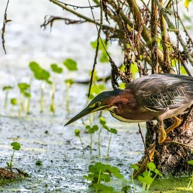 I found this Green Heron hunting the shallows of a large pond from a camouflaged perch. It was confident in its hide and stayed still, continuing to hunt in my nearby presence. 