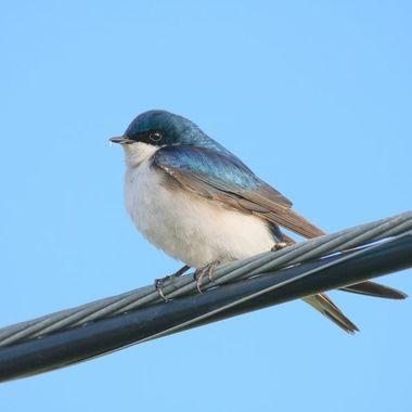 Resting on a wire near Merritt B C