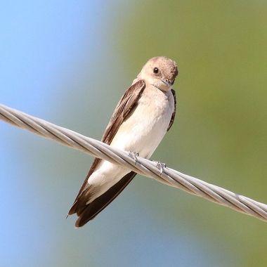 IMG_6593 Swallow