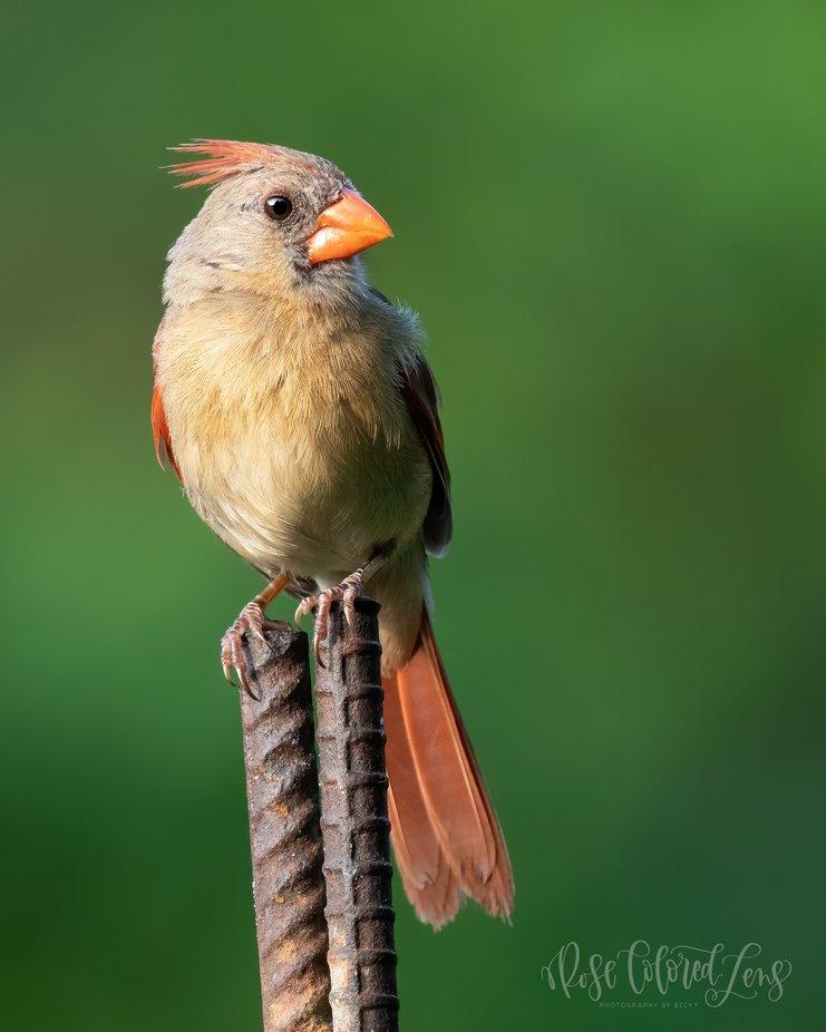 Female Cardinal in my Garden