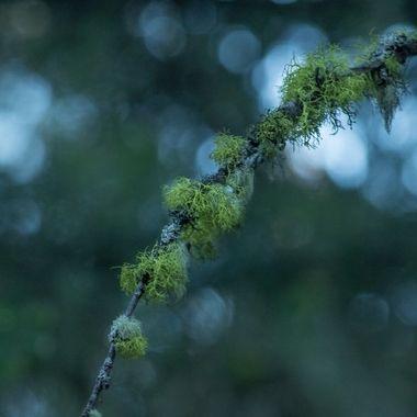 Moss on a limb with bokeh