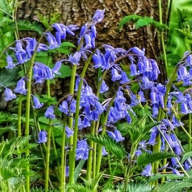 Bluebells in Gledhow Valley Woods