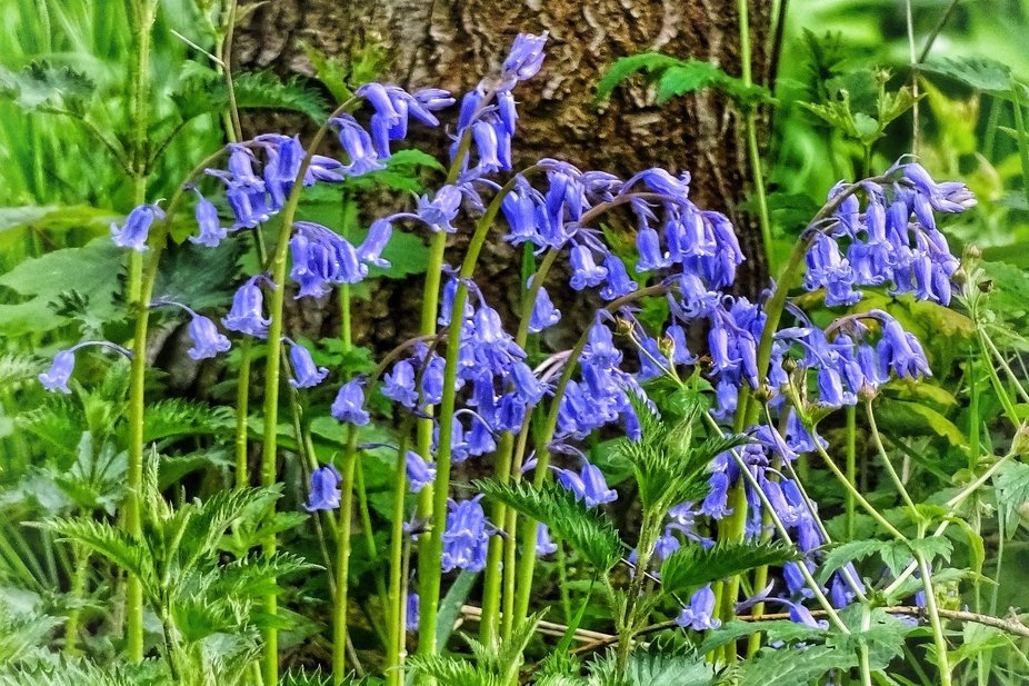 Group of bluebell flowers at the base of a tree