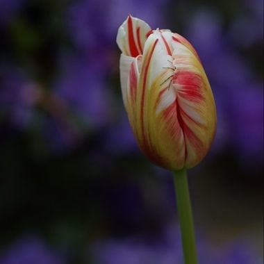 Spider hiding in a tulip