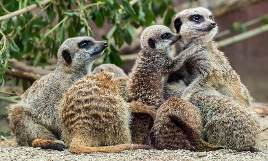 Meerkats on the alert for danger.