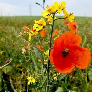 Mixed Poppy field