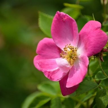Fragrant And Pink