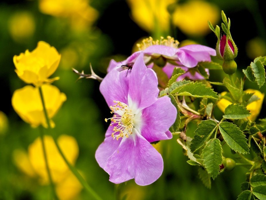 This Wild Rose bush is surrounded by bright yellow wildflowers.