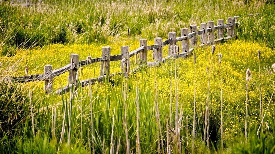 Yellow wildflowers bury this fence...