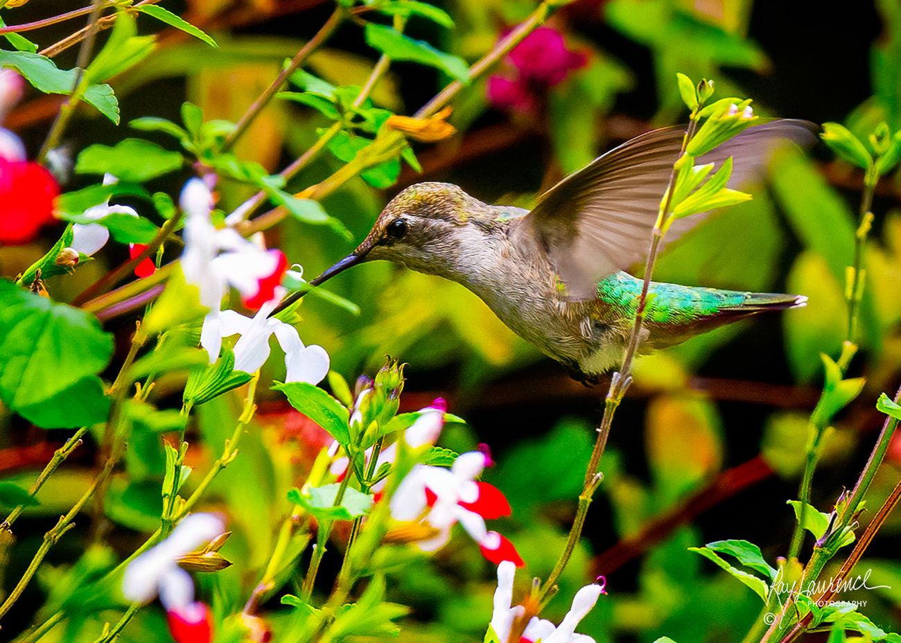 An Anna hummingbird captured in my garden in Lake Oswego, Oregon.