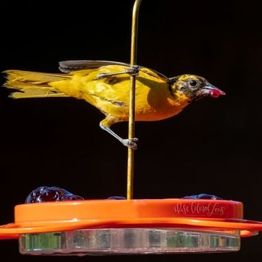 Baltimore orioles love grape jelly and nectar. These feeder has both and really draws in the orioles. This female is a messy eater!