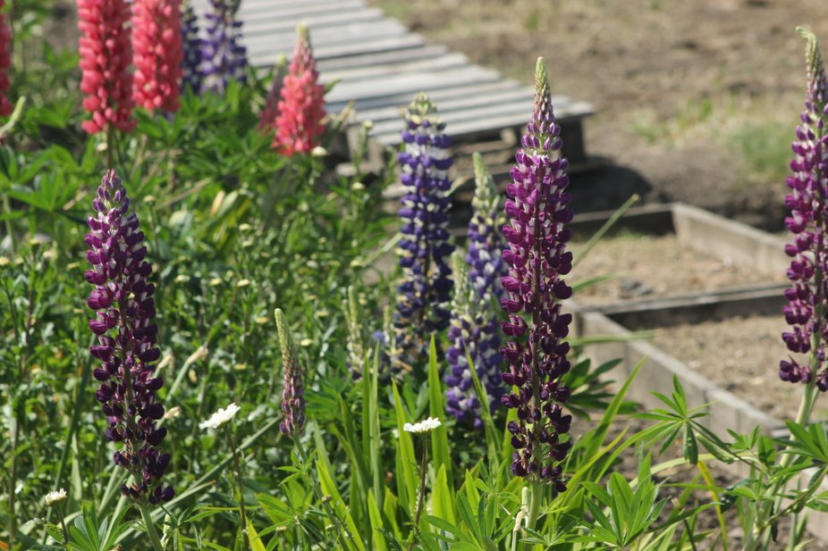 First attempt at taking photos free hand on a windy day, Lupins from back garden