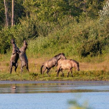 Wild Konik horses in the nature reserve De Stille Kern, Zeewolde, Netherlands.Time 20.30, June 2020