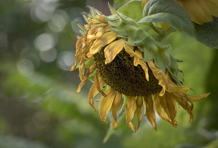 A retired sunflower living out its last days...