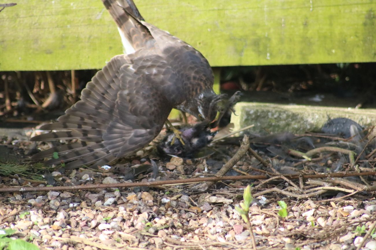 Sparrow hawk - packing up lunch ready to fly