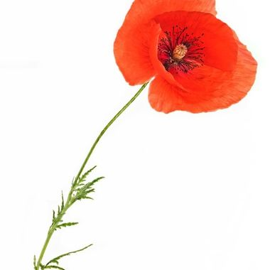 Last Poppy in my Garden