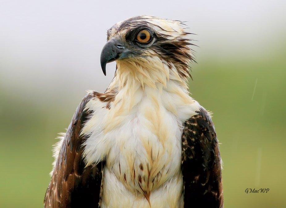 Rain Soaked Osprey