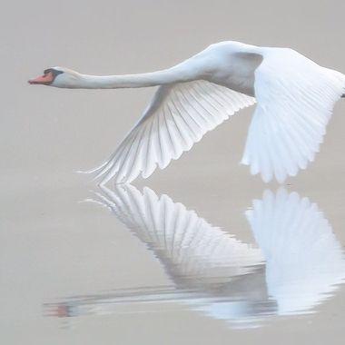 Swan touching the water with its wings. One misty early morning in June 2020, De Stille Kern, a nature reserve in Zeewolde, Netherlands