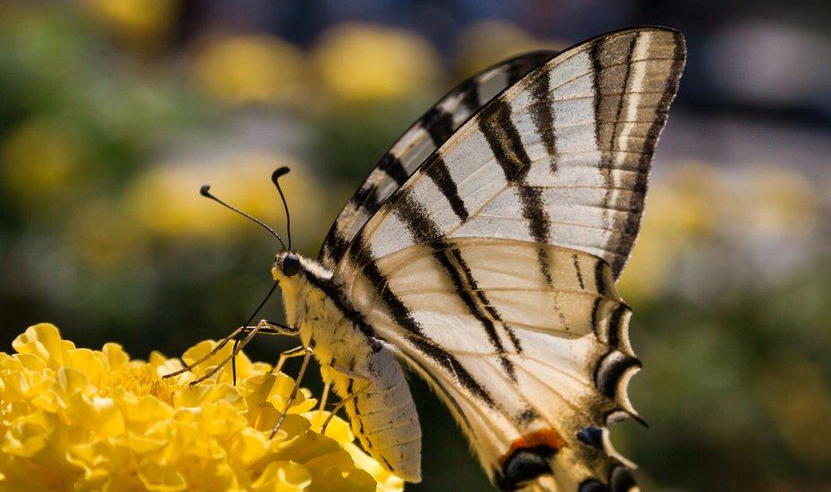 Iphiclides podalirius_Papilionidae_Segelfalter__Ritterfalter_Schmetterling_scarce swallowtail_butterfly