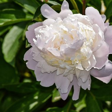 Lightly scented peony starting to open showing all of its splendour