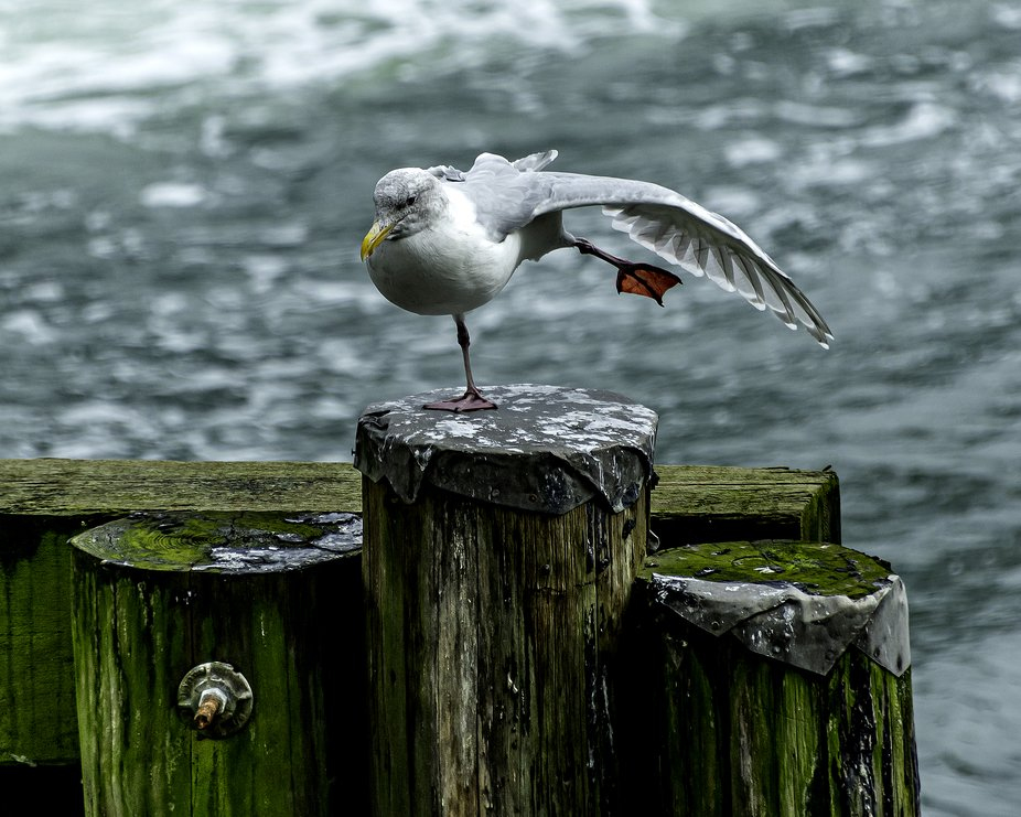 Yoga on a slippery post, gull in an arabesque pose.