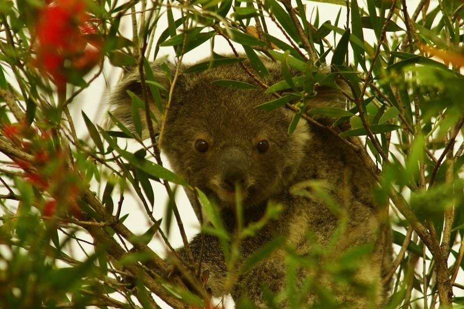 Mum and Baby Koala feeding in a Bottlebrush tree. Stopping to have a look at me, while took the c...