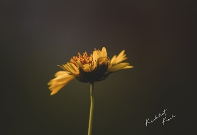 Artistic wallpaper of Golden crown beard yellow flower with black background