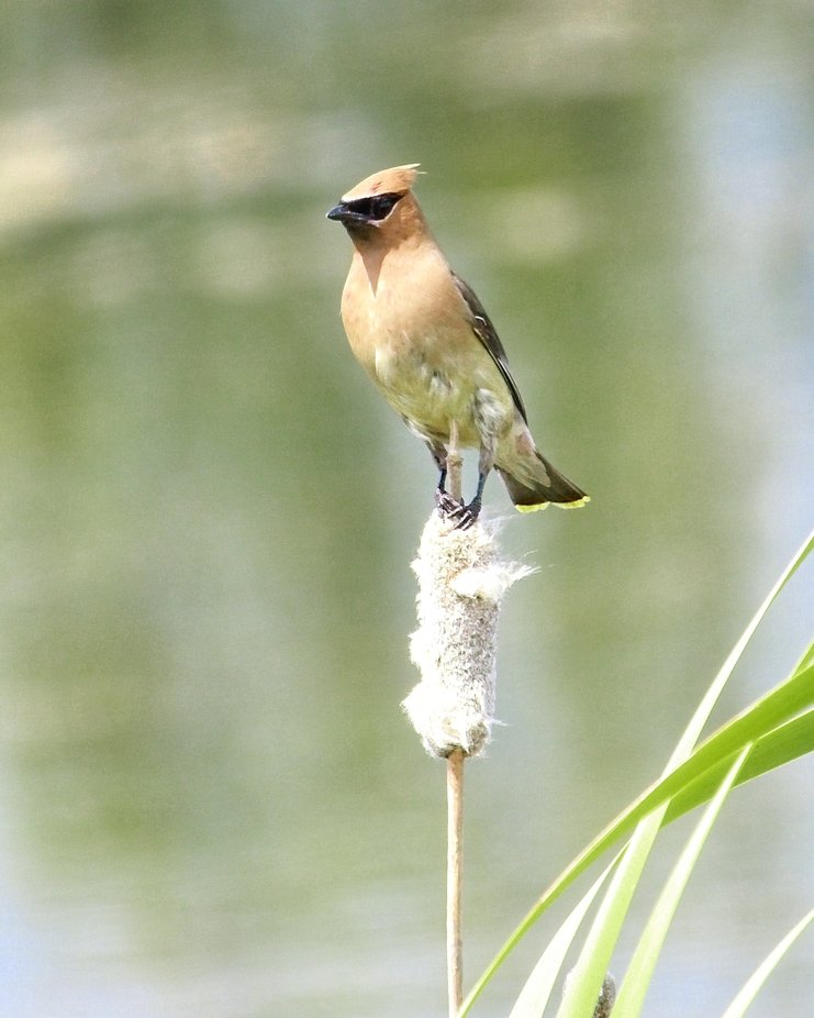 A Cedar Waxwing is perched on a reed in our neighborhood pond resting from chasing bugs on the water...