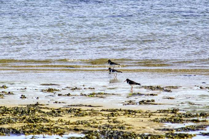 Three birds scavenging for edible things washed up to shore.