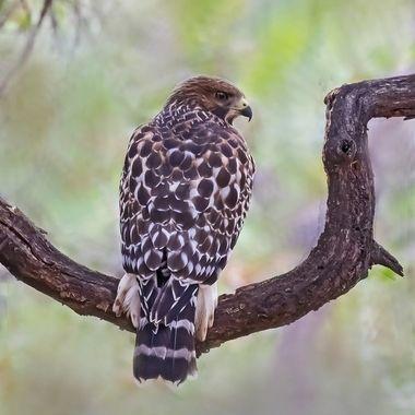 Red -houlder Hawk, Juvenile DSC03953-1